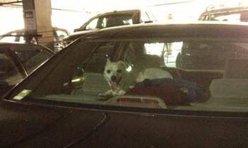 dog-trapped-in-a-hot-car