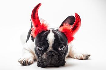 Dog With Devil Ears