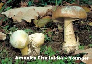 Amanita_Phalloides-Younger-Tip