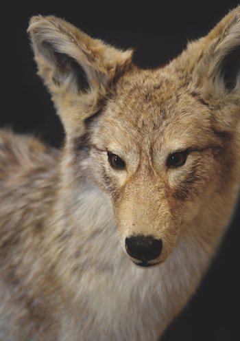 coyote-keep-pets-safe