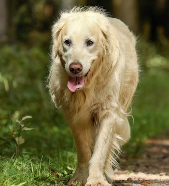 dog-has-cancer