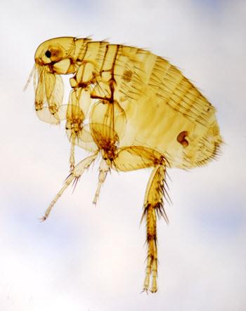 flea-allergy