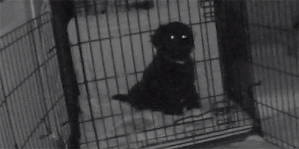 puppy being crate trained at night