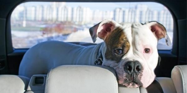 American bulldog terrier anxious about riding in the car