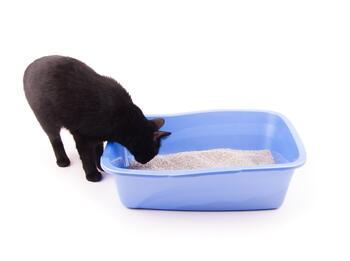 Black Cat Looking in Litter Box