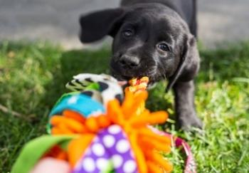 Black Lab puppy playing tug with colorful rope toy 350 canva