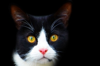 Black-and-white-cat.jpg