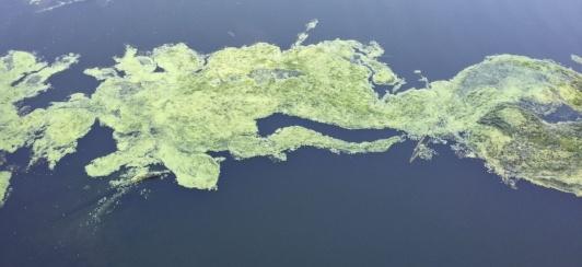 blue green algae danger to dogs