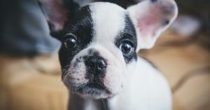 Boston-pup-FB-lg