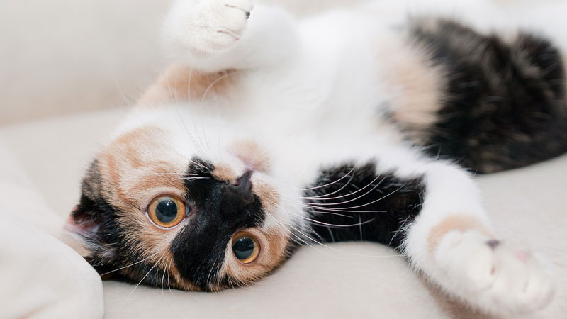 Calico-Cat-On-Its-Back.jpg