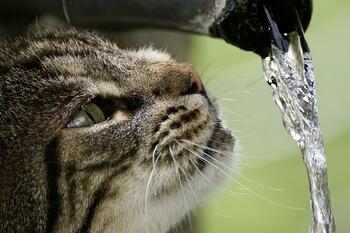 Cat Drinking Stream of Water