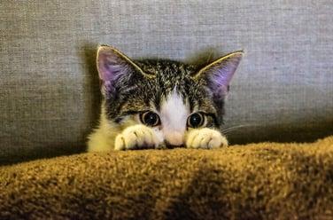 Cat Peering From Behind Blanket.jpg