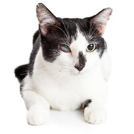 Cat-cataract.jpg