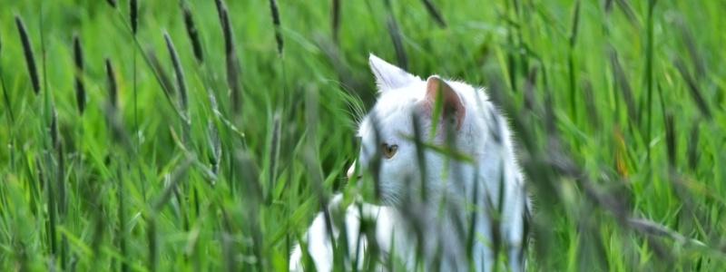 Cat-field-foxtails.jpg