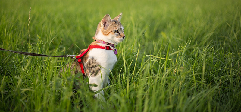 Cat in Field With Leash