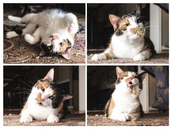 Cats-Catnip-Photo-Series