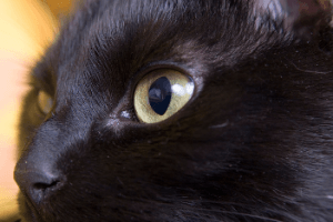 Close up of black cat eyes showing partial dilation of pupils 300 canva