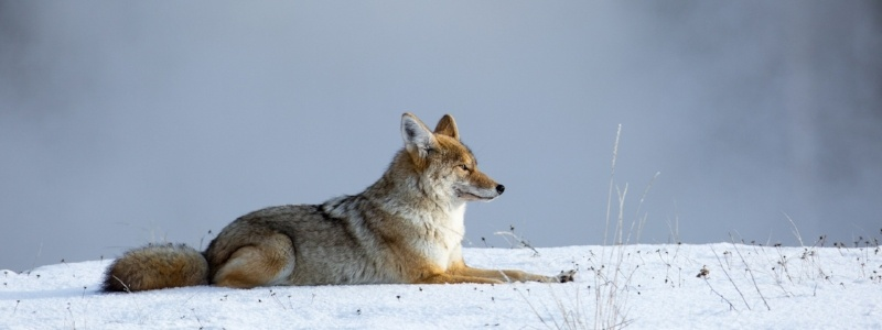Coyote-in-winter.jpg