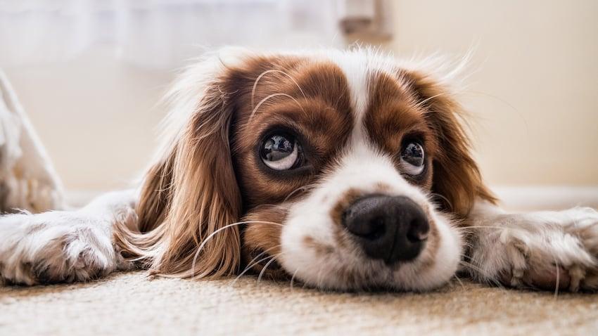 Dog Lying On Carpet Looking Up.jpg
