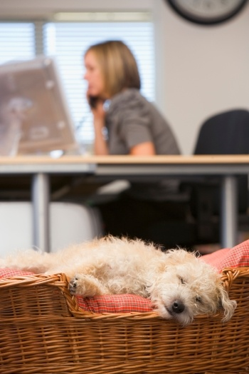 Dog Sleeping in Office Woman on Phone.jpg