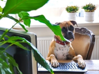 Dog at Desk Boxer.jpg