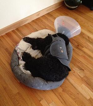 Dog wearing a cone and stress thunderhsirt
