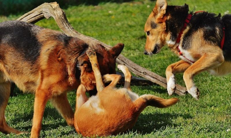 Dogs Outside Wrestling.jpg