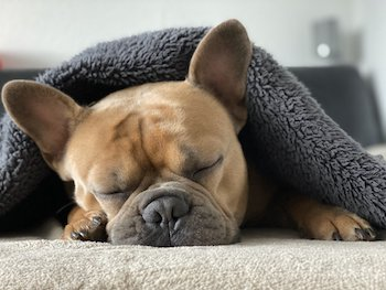 Frenchie-Puppy-Heat-Stroke.jpg