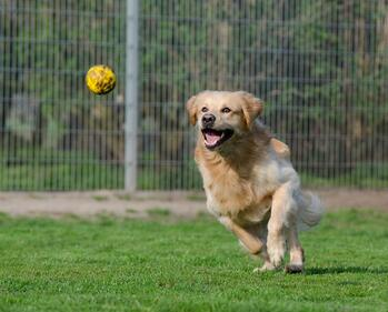 Golden Retriever Chasing Ball Enclosed Outdoor Space.jpg
