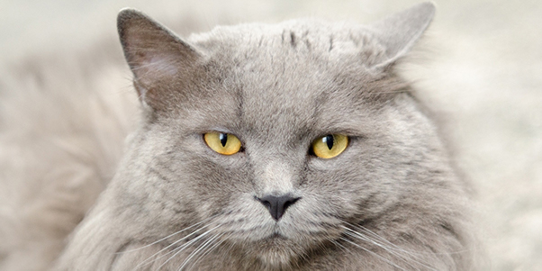 Gray-Long-Hair-Cat-631367-edited.jpg