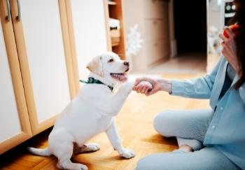Happy yellow lab puppy shaking owners hand with paw 350 canva