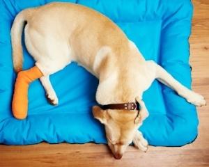 dog lying down with a bandaged leg