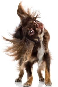 Chihuahua-shaking