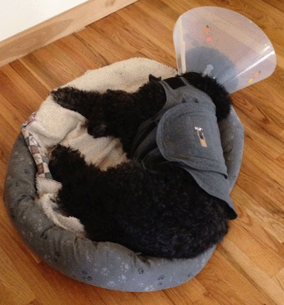 Dog-cone-stress-surgery