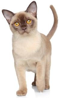burmese cat walking