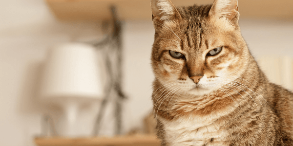 cat suffering from urinary obstruction