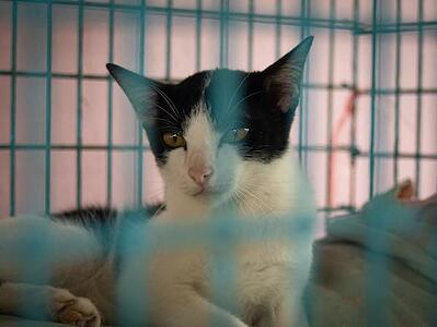 cat with hyperthyroidism at hospital
