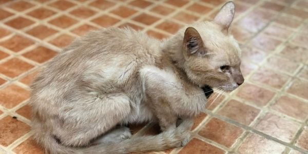cat with hyperthyroidism