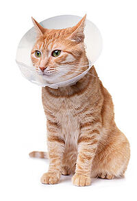 cat wearing a cone after surgery