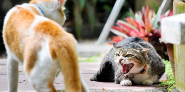 cats fighting FIV disease
