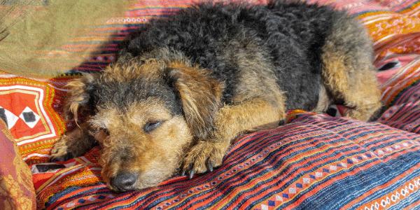 comfortable-senior-dog