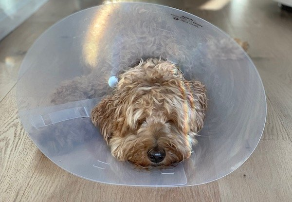 dog after surgery wearing a cone-Loki
