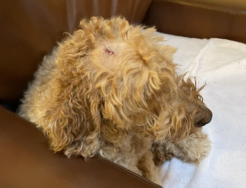 dog mass removed from head-Loki
