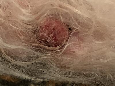 histiocytoma dog skin mass
