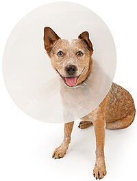 dog-wearing-cone