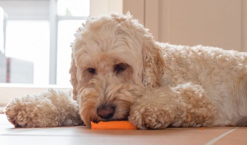 doodle dog eating a carrot treat
