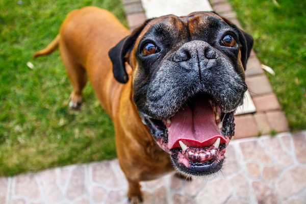 happy boxer dog with environmental allergies