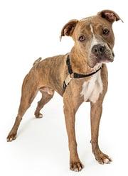 mix bully and boxer breed tumors and masses