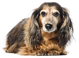 old-dachshund