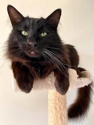 old-male-black-cat